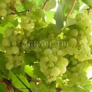 Touraine vigne vignoble vin